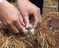 http://ricetoday.irri.org/vietnams-mushroom-growing-technology-using-rice-straw-serves-as-a-good-model-for-other-asian-countries/